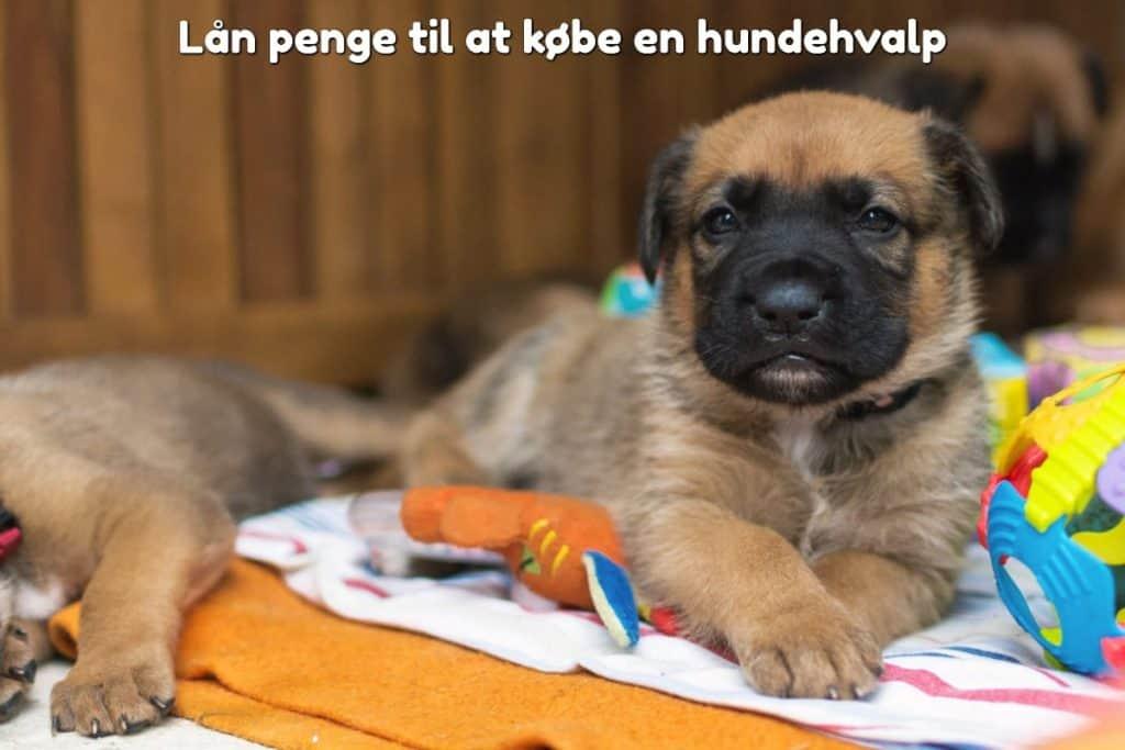 Lån penge til at købe en hundehvalp